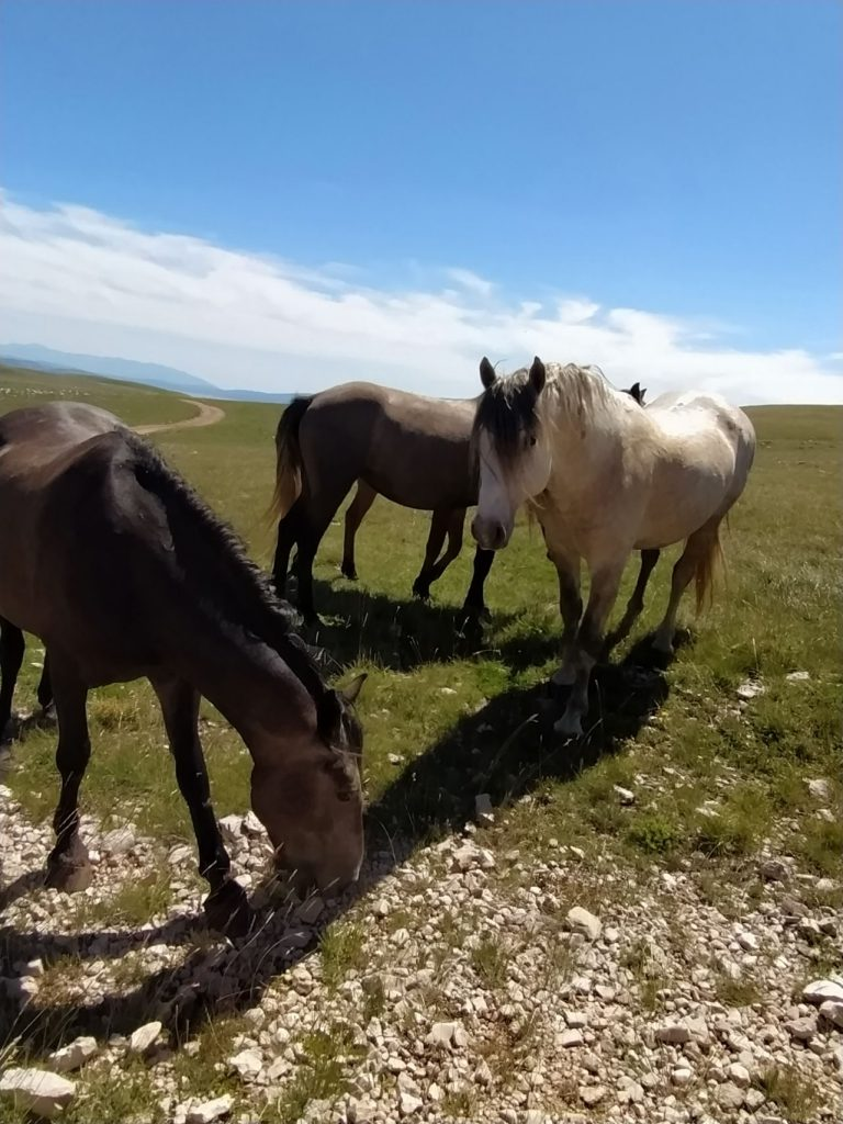 Livno - divlji konji na Cincaru