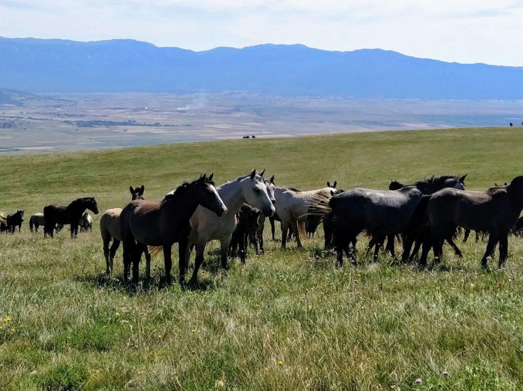Livno i divlji konji na Cincaru