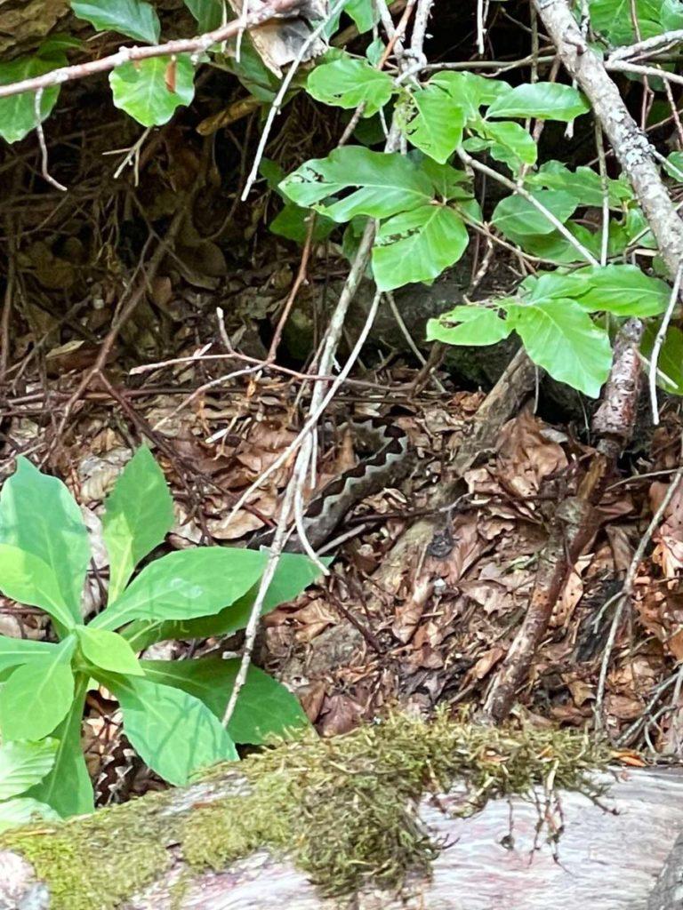 viper poskok NP Sutjeska